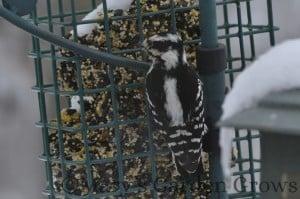 Downy Woodpecker 2/23/13