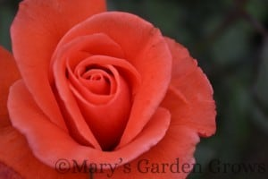 Duluth Rose Garden - Hot Cocoa