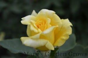 Duluth Rose Garden - Julia Child