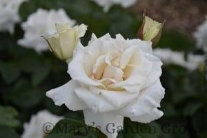 Duluth Rose Garden - Polar Star