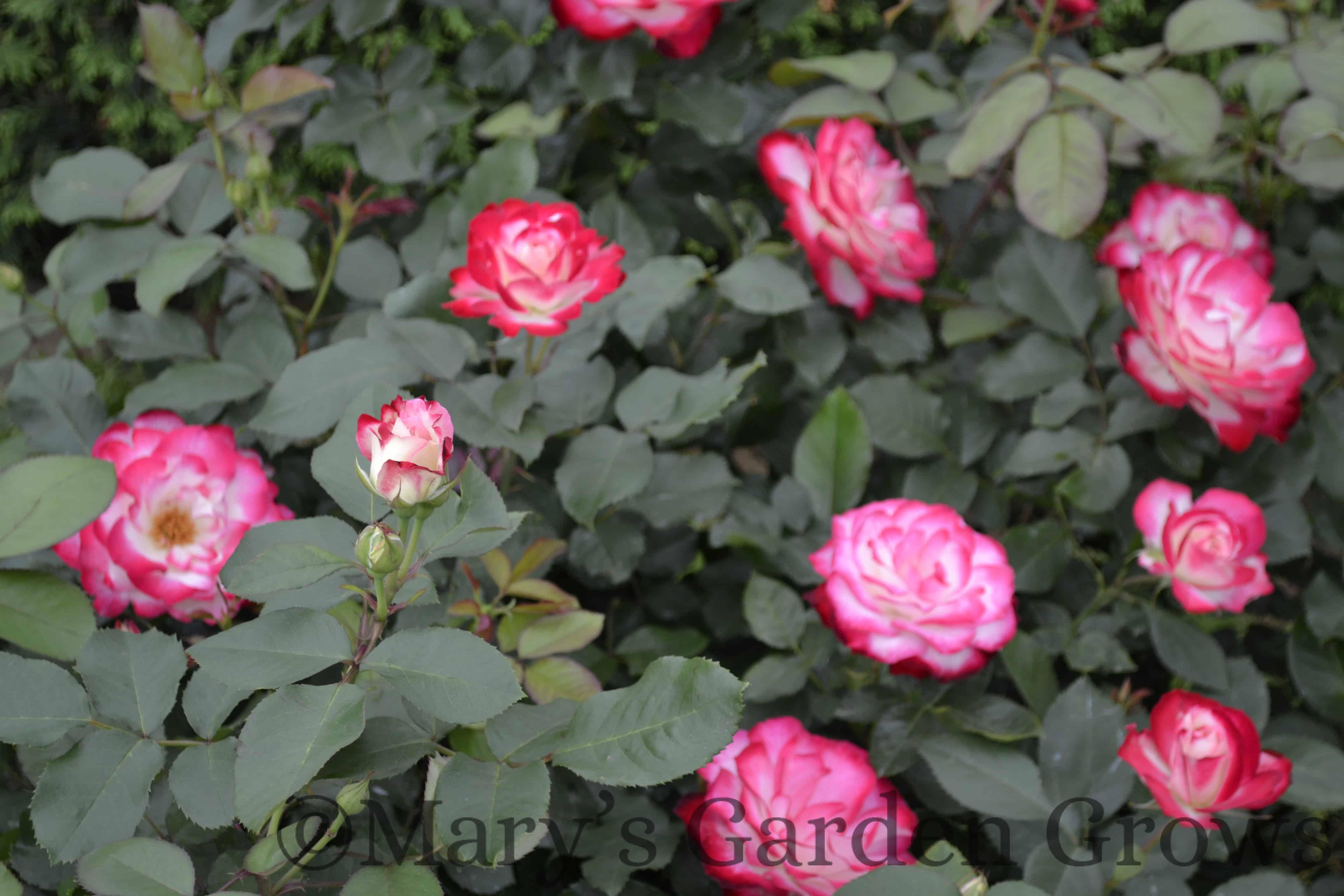 Duluth Rose Garden - Cherry Parfait