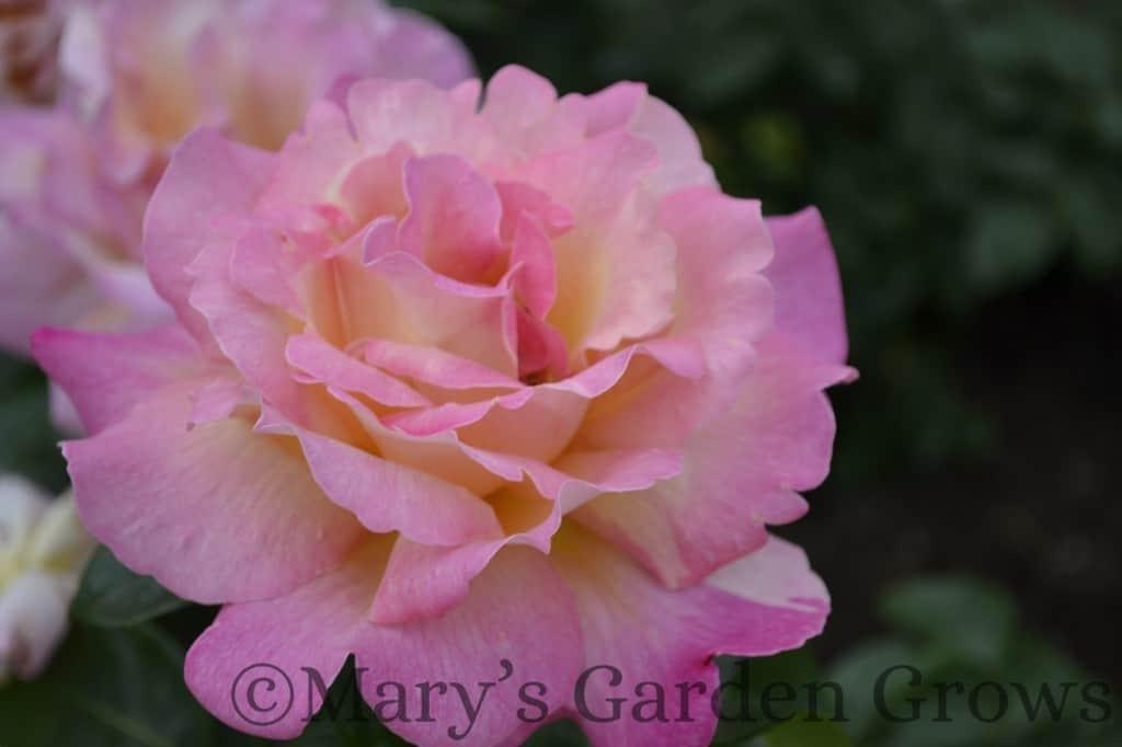 Duluth Rose Garden - Chicago Peace
