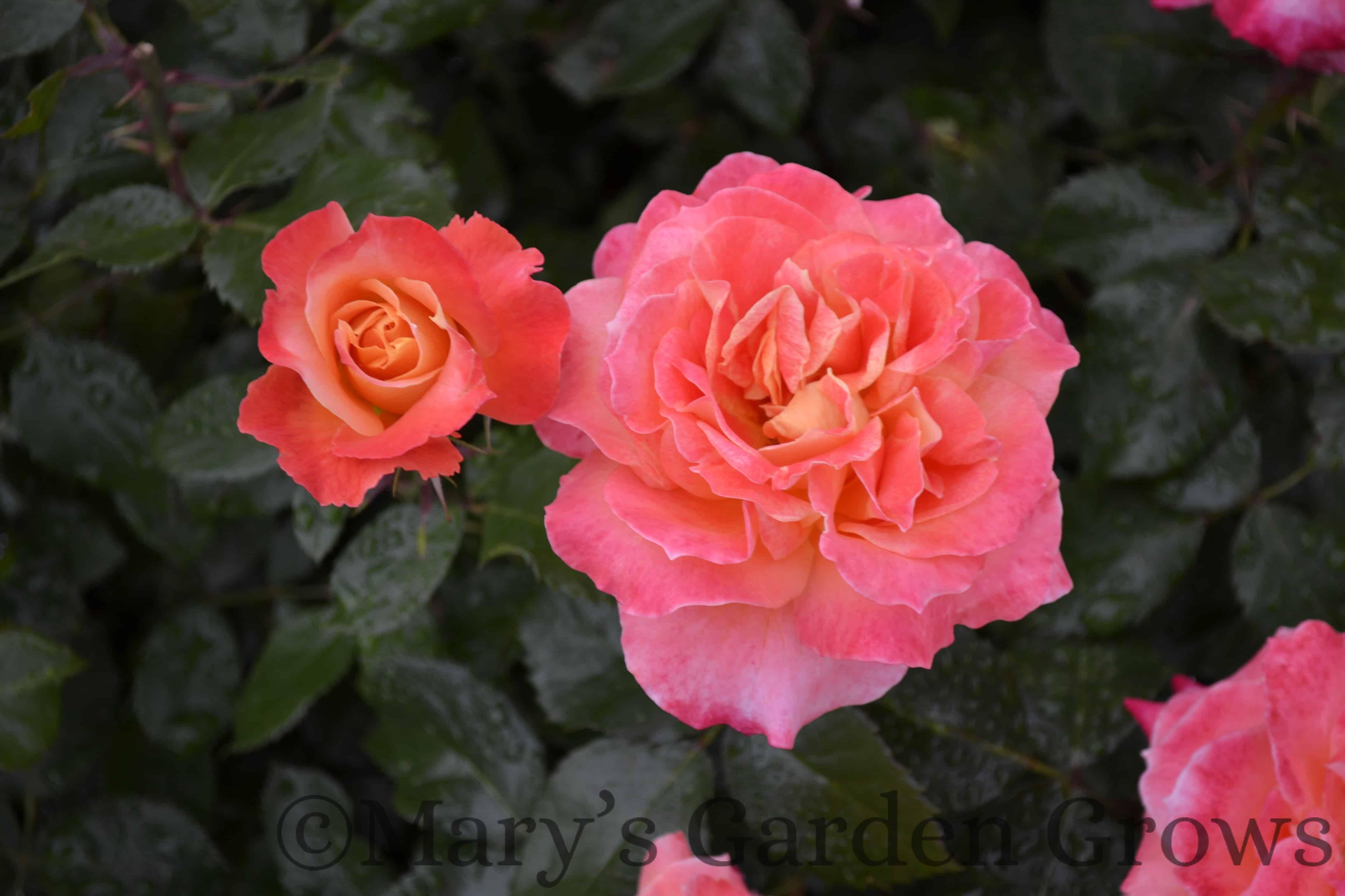 Duluth Rose Garden