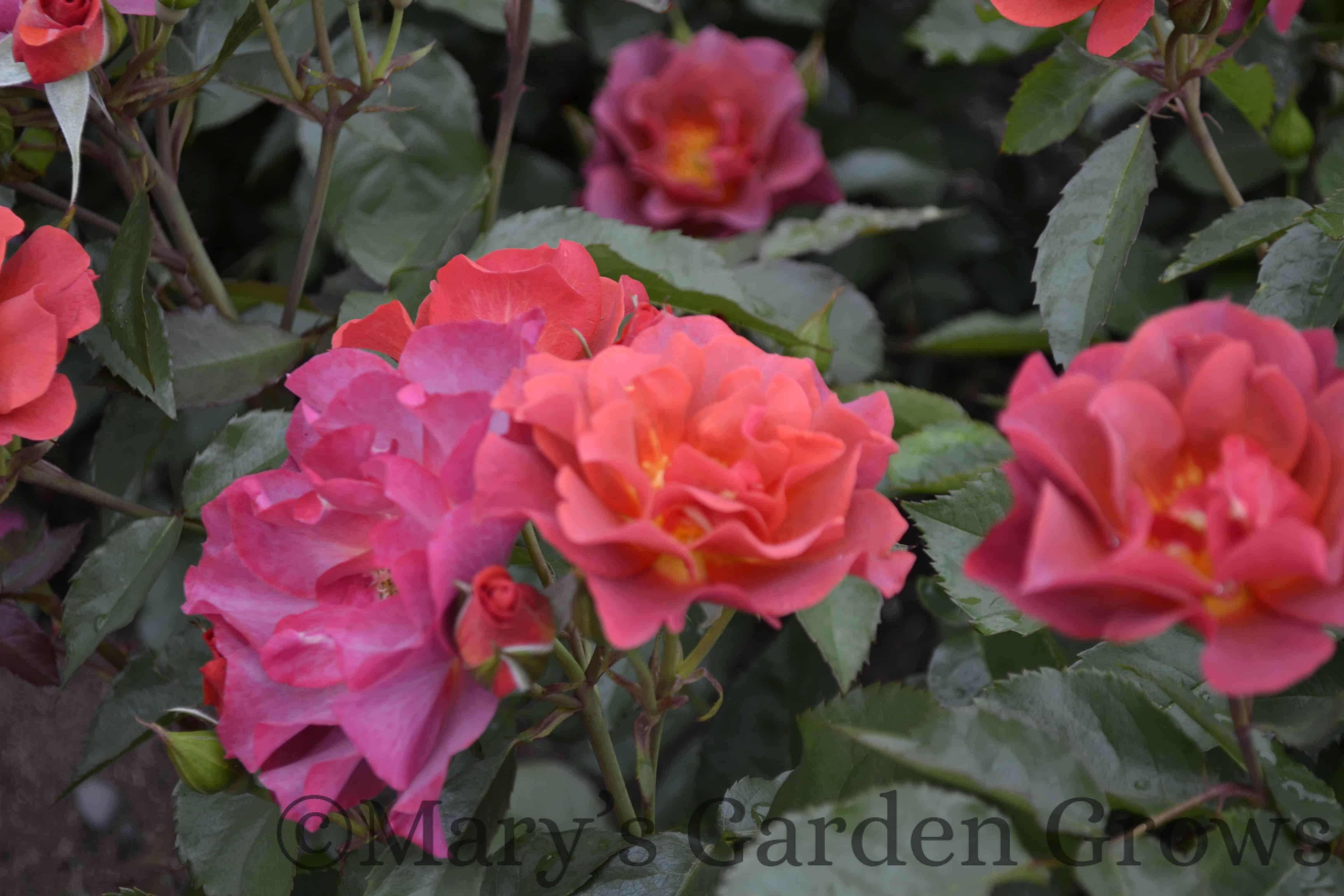 Duluth Rose Garden - Cinco De Mayo