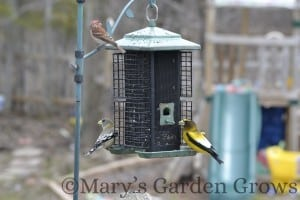 Purple Finch and Evening Grosbeaks