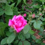 Double Pink Knock-Out Rose - 7/9/2013