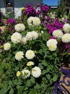 White Dahlias and Purple Phlox