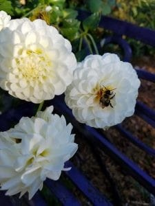 White Dahlias With Bee